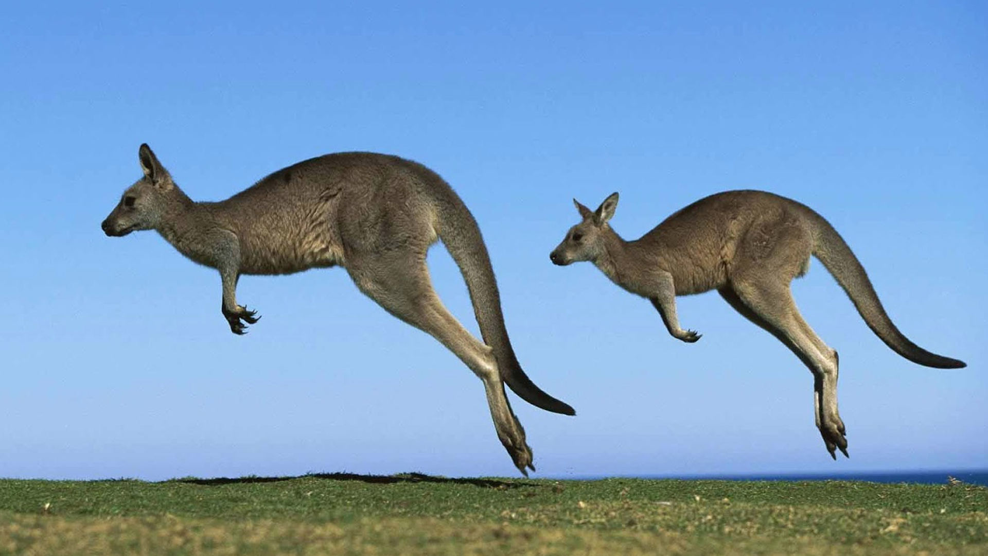 Kangaroo For Desktop Background