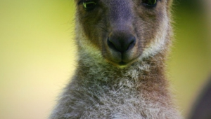 Kangaroo For Smartphone