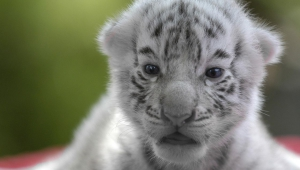 Newborn White Tiger Cubs