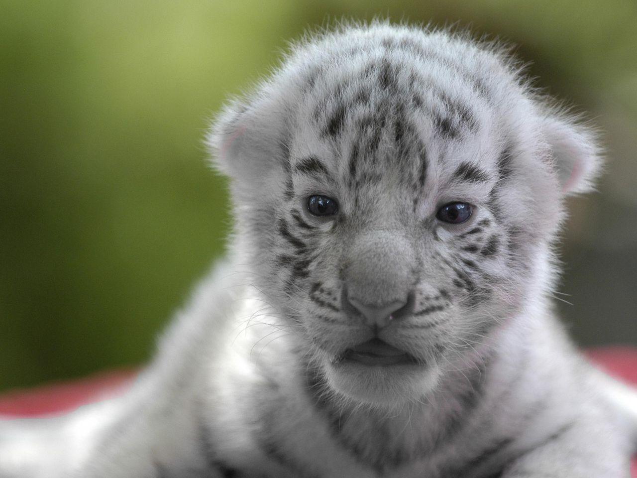 Newborn White Tiger Cubs | www.pixshark.com - Images ...