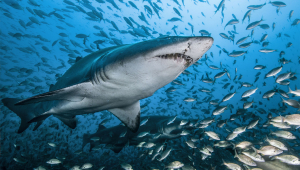 Shark 4K