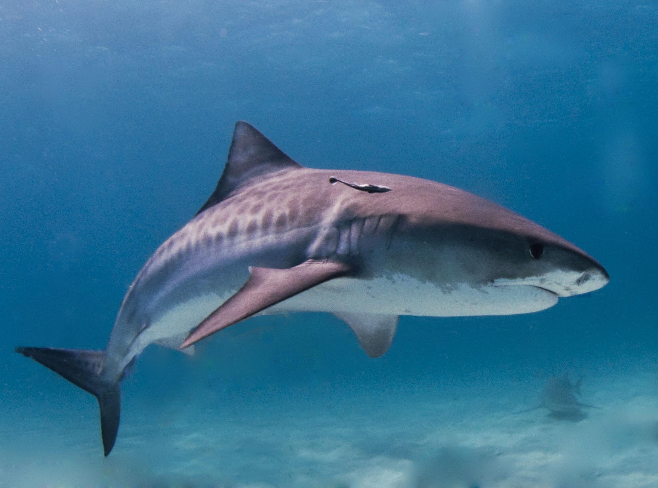 Shark HD Pics