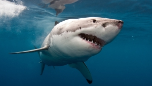 Shark Images