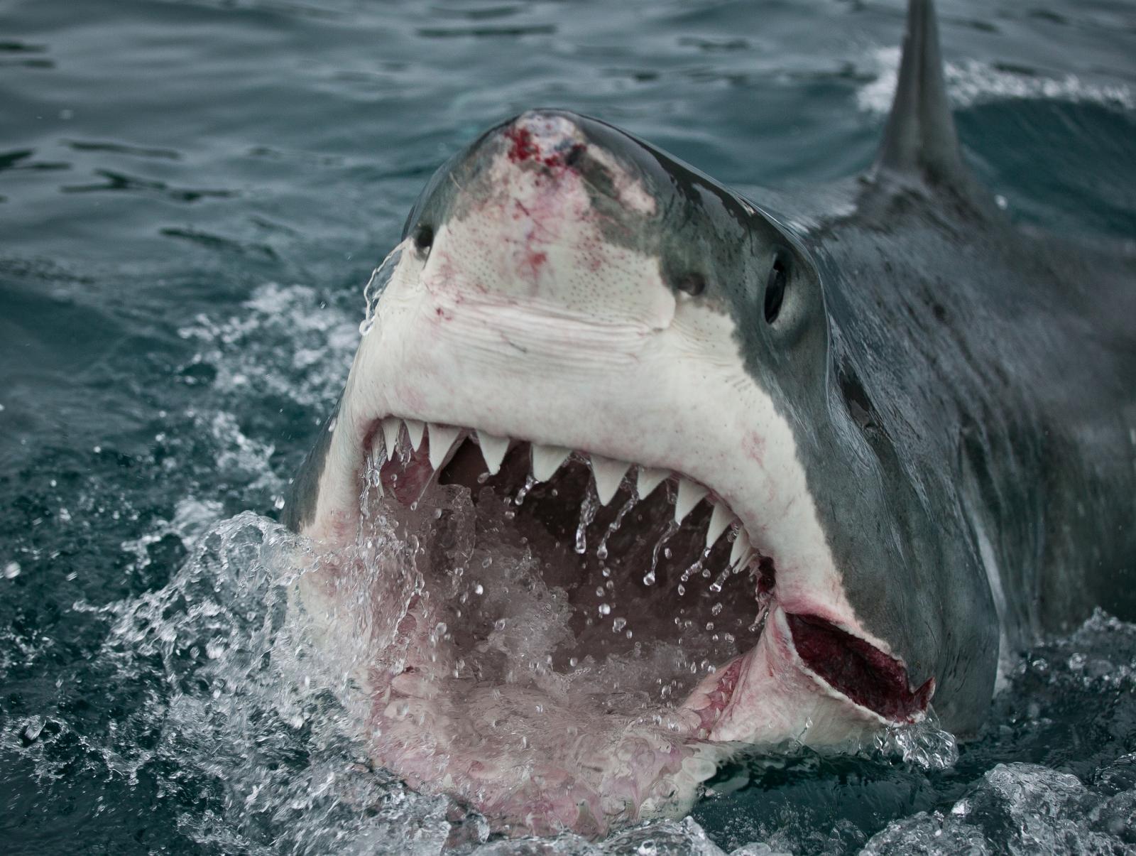 Shark For Desktop