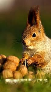 Squirrel Android Wallpapers