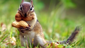 Squirrel Download