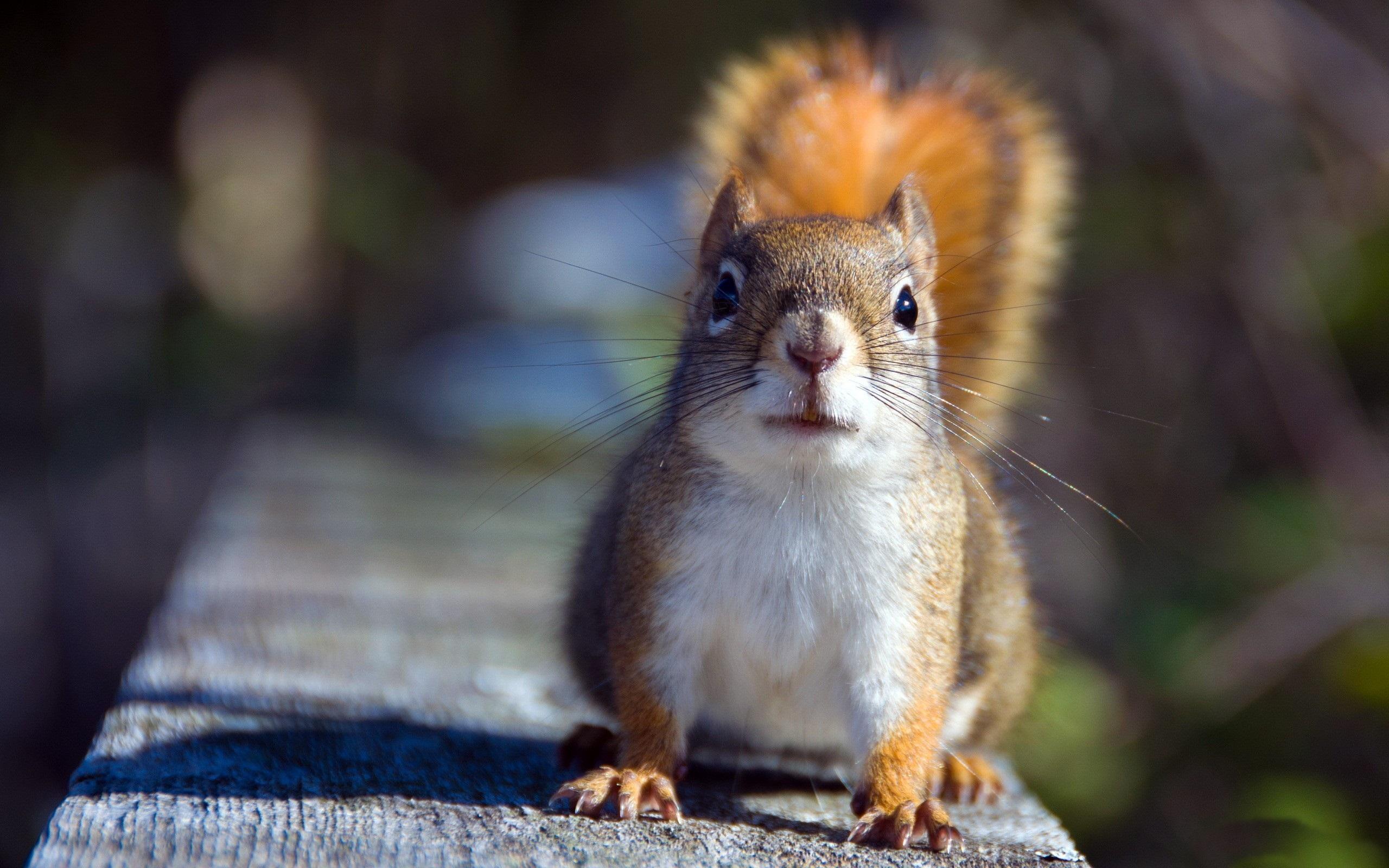 Squirrel HD Wallpaper