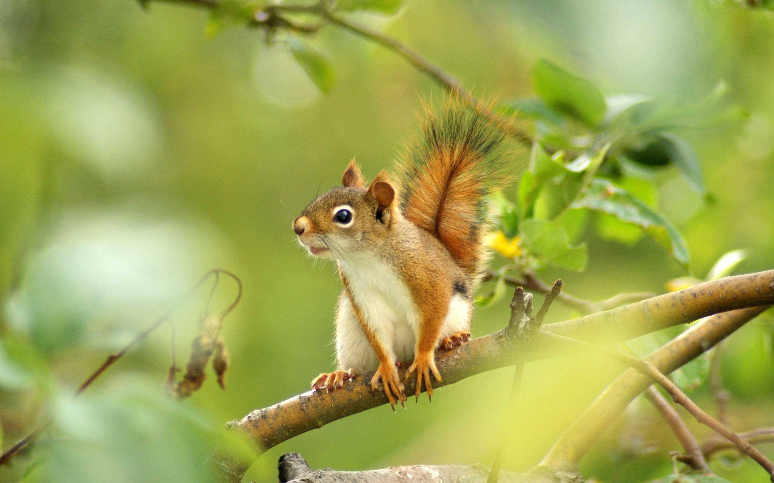 squirrel wallpaper - photo #17