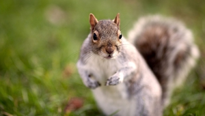 Squirrel Wallpapers And Backgrounds
