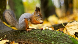 Squirrel For Desktop