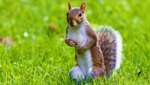 Squirrel Full HD