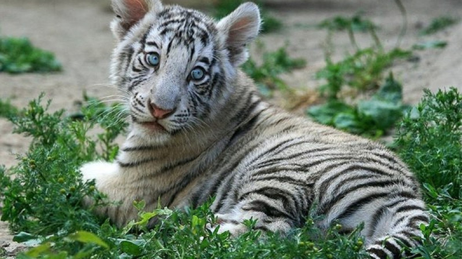 White Tiger Baby Photo