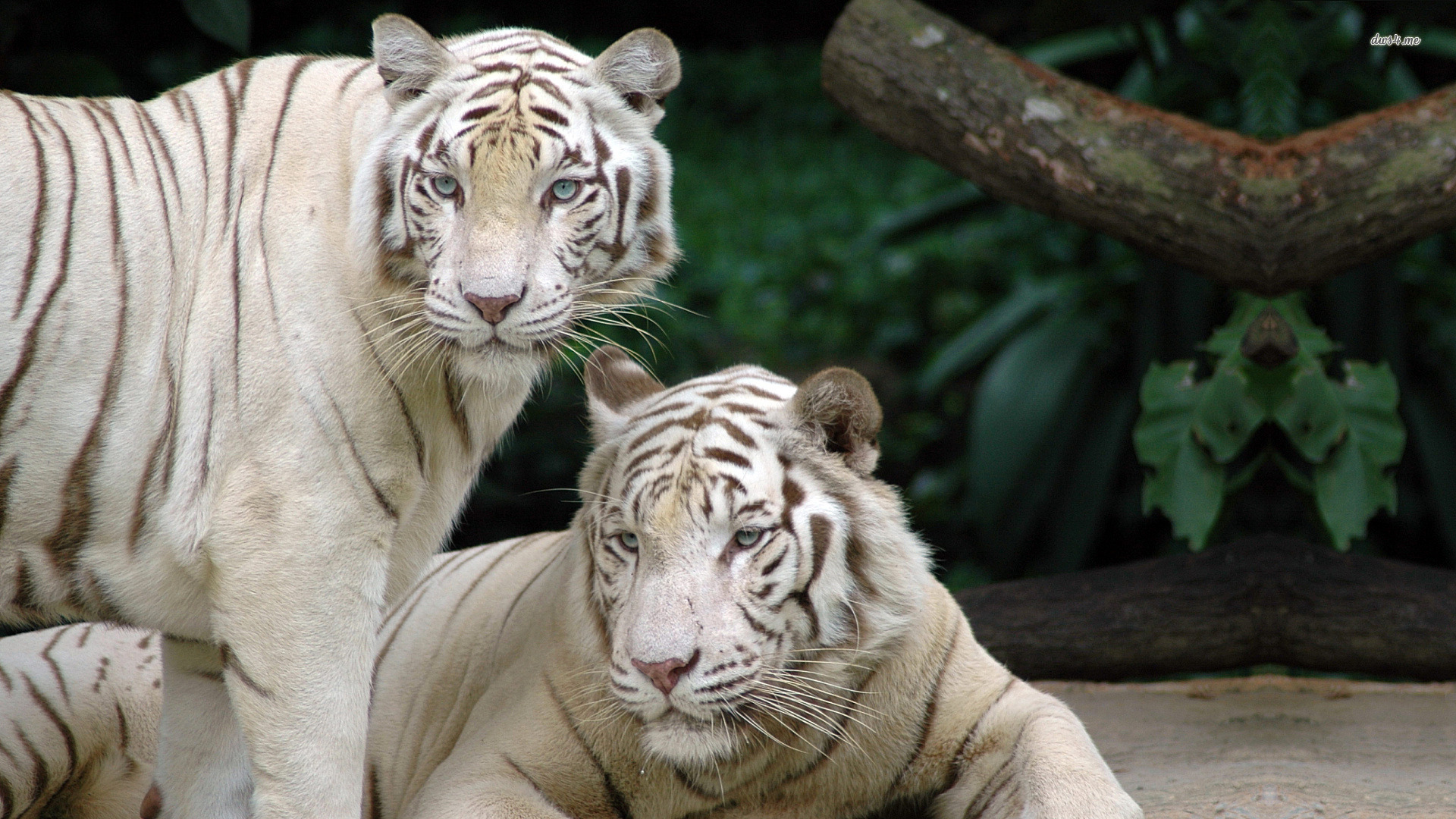 White Tiger Computer Backgrounds