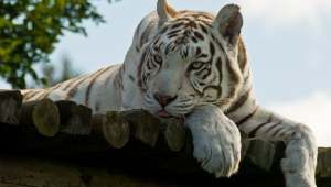 White Tiger Desktop Images