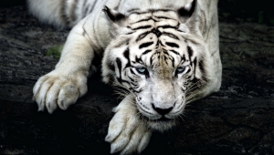 White Tiger Free HD Wallpapers