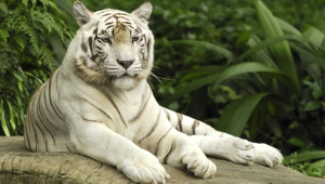 White Tiger HD Background