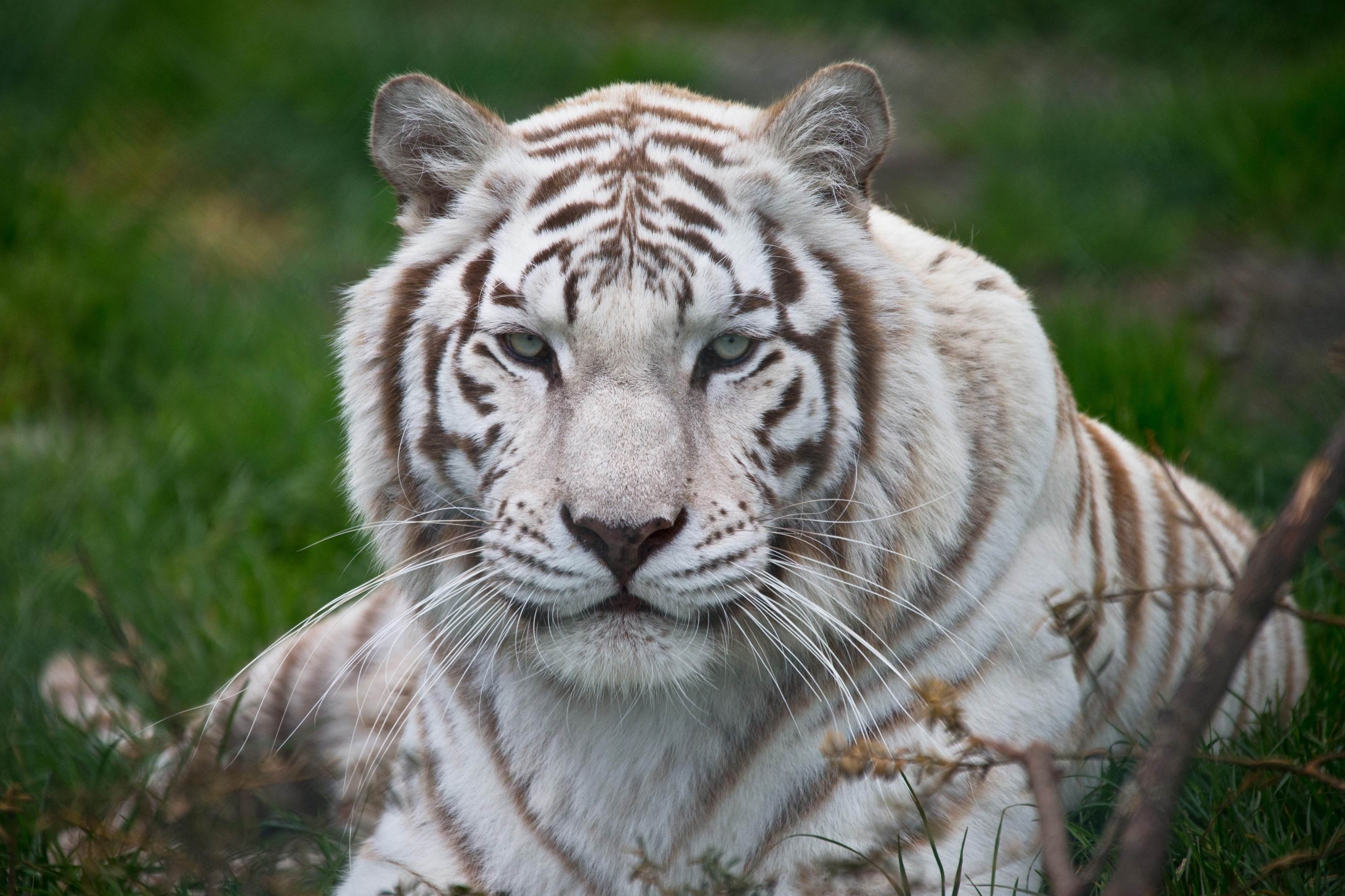 wallpaper hd white tiger - photo #23