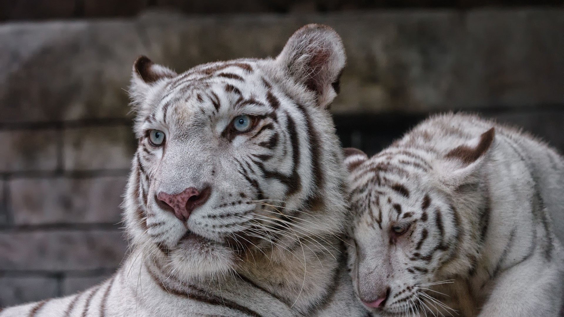 White Tiger Photos