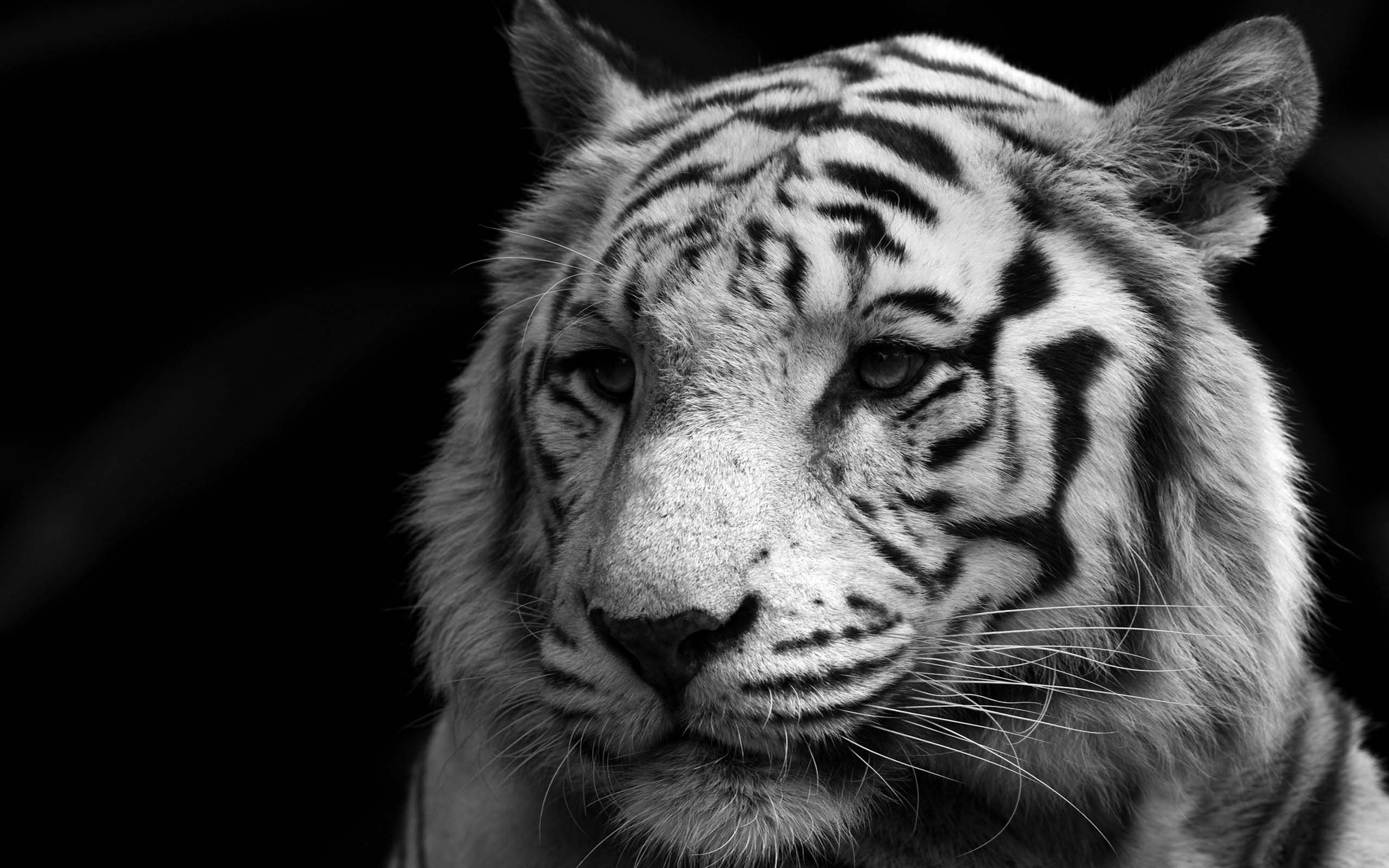 Nature Lion Big Cats Fury Angry Portrait Monochrome: White Tiger Wallpapers Images Photos Pictures Backgrounds