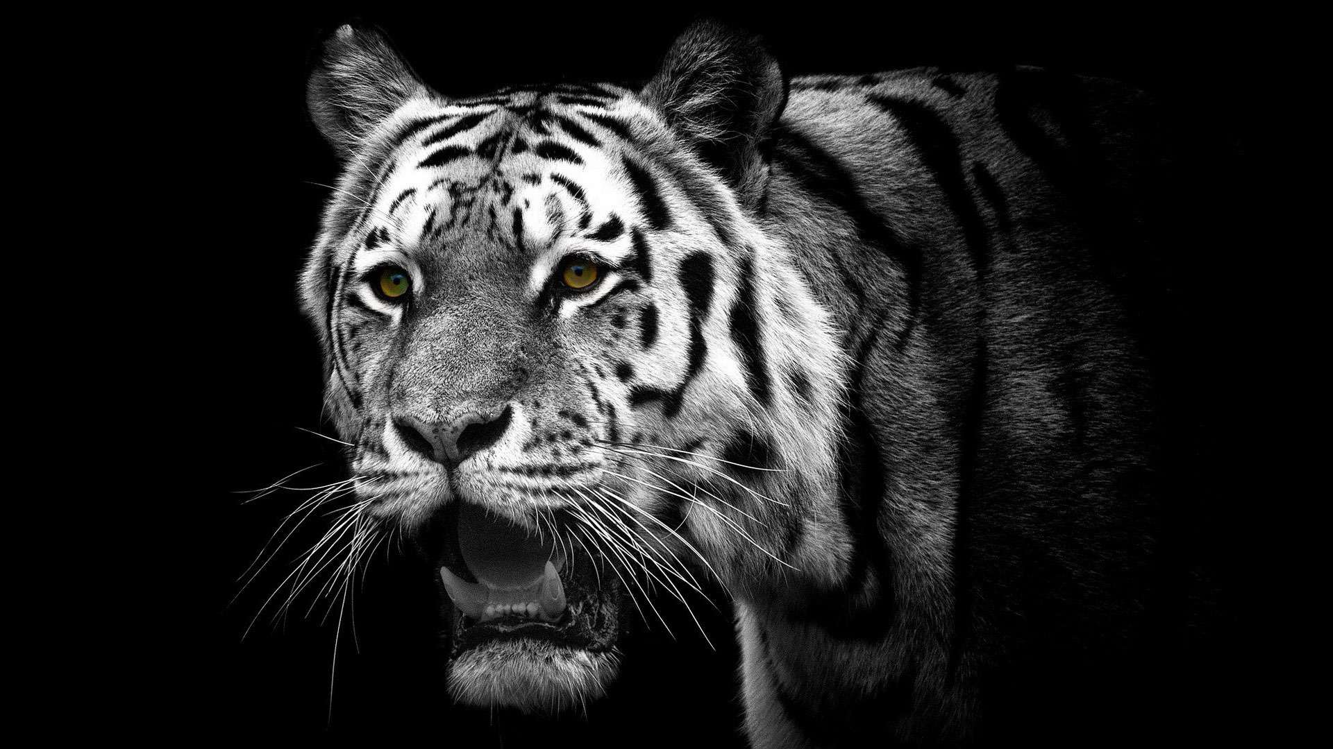 white tiger The white tiger is the debut novel by indian author aravind adiga it was first published in 2008 and won the 40th man booker prize in the same year the novel.
