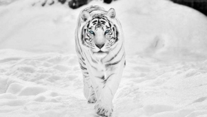 White Tiger Wallpapers HQ