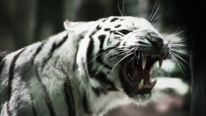 White Tiger Wallpapers And Backgrounds