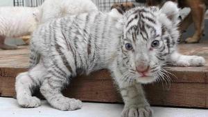 White Tiger Baby