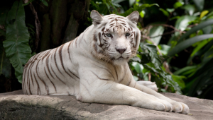 White Tiger For Desktop Background