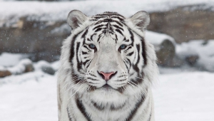 White Tiger Wallpaper For Windows