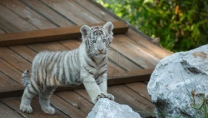 White Tiger Baby Pictures