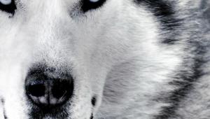 Wolf Full HD