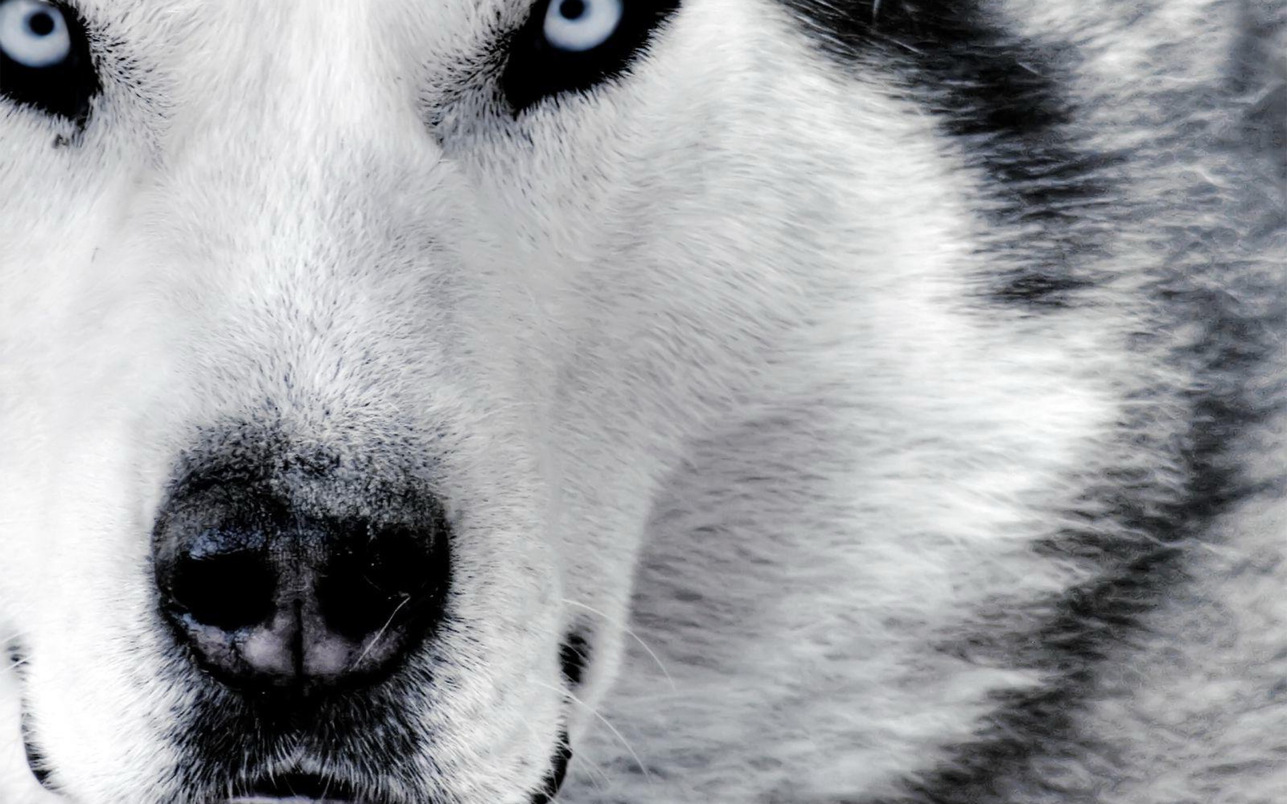 Hd Wolf Backgrounds: Wolf Wallpapers Images Photos Pictures Backgrounds