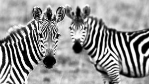 Zebra 4K
