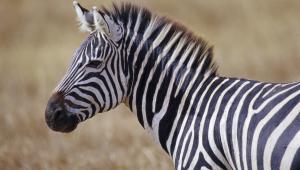 Zebra Desktop