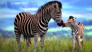 Zebra Download Free Backgrounds HD