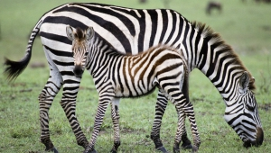 Zebra Free Download