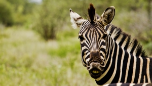 Zebra Free HD Wallpapers