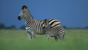 Zebra HD Background
