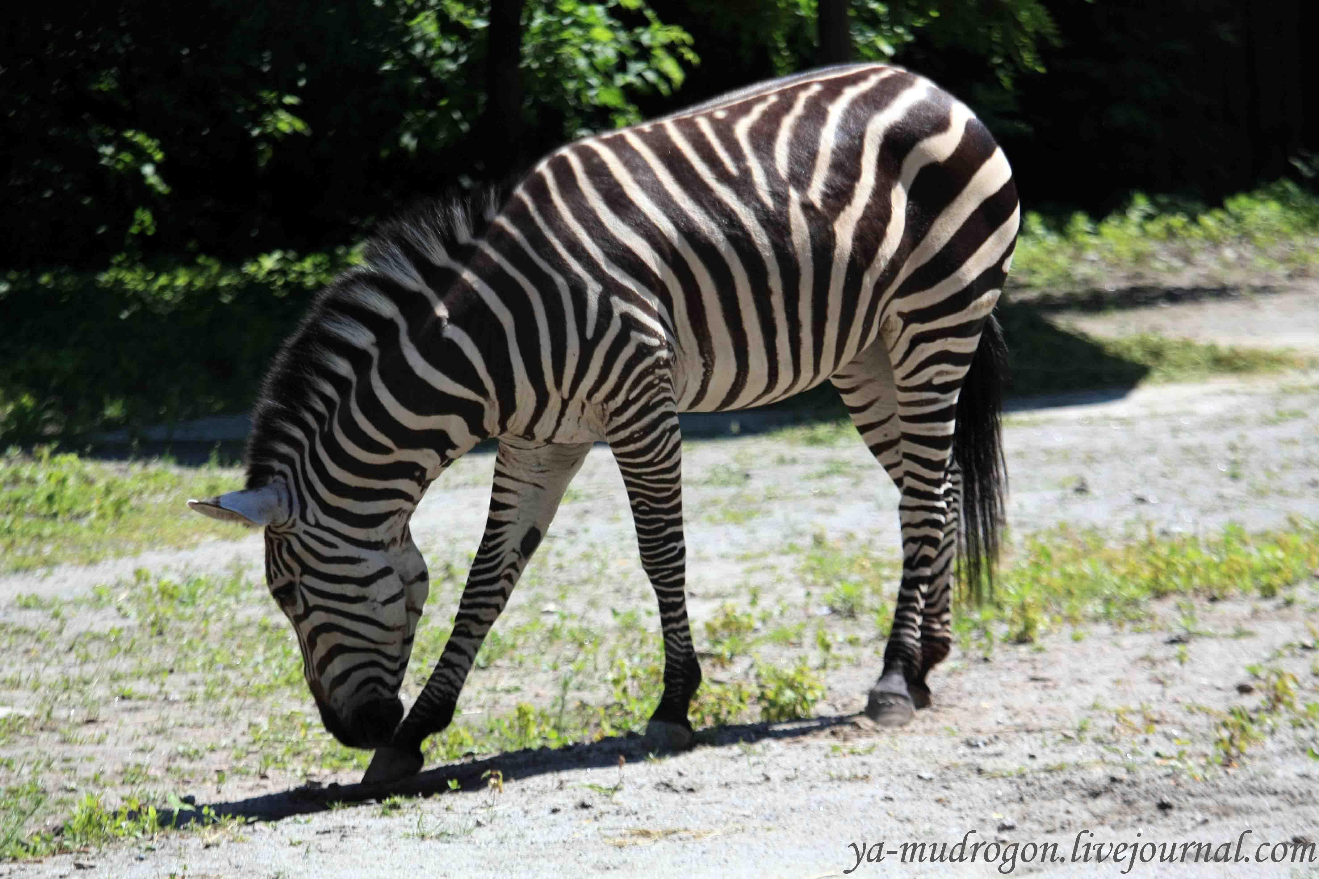 Zebra HD