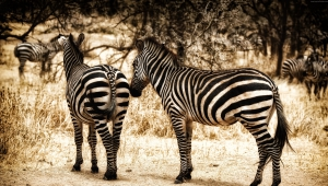 Zebra High Definition