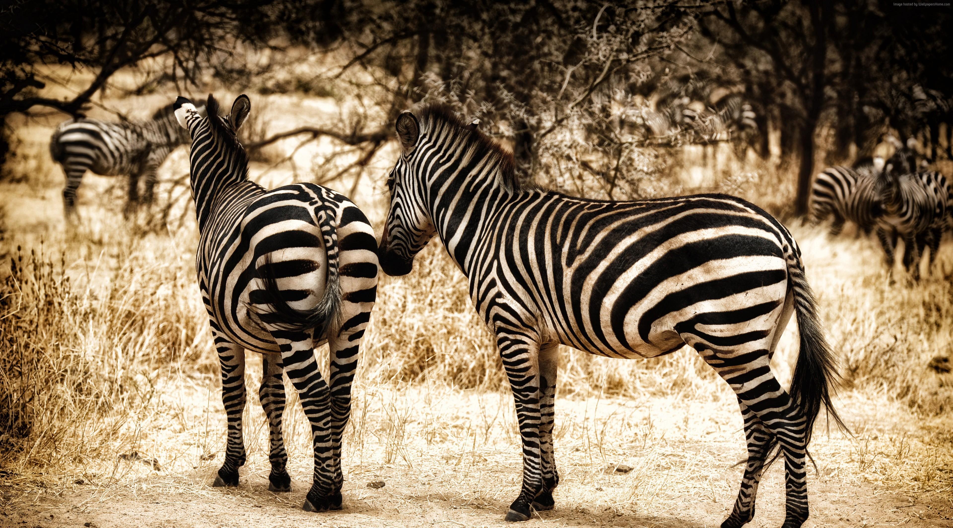Zebra High Definition