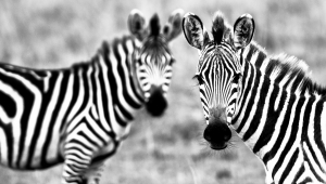 Zebra Photos