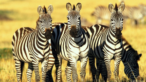 Zebra Wallpaper For Computer