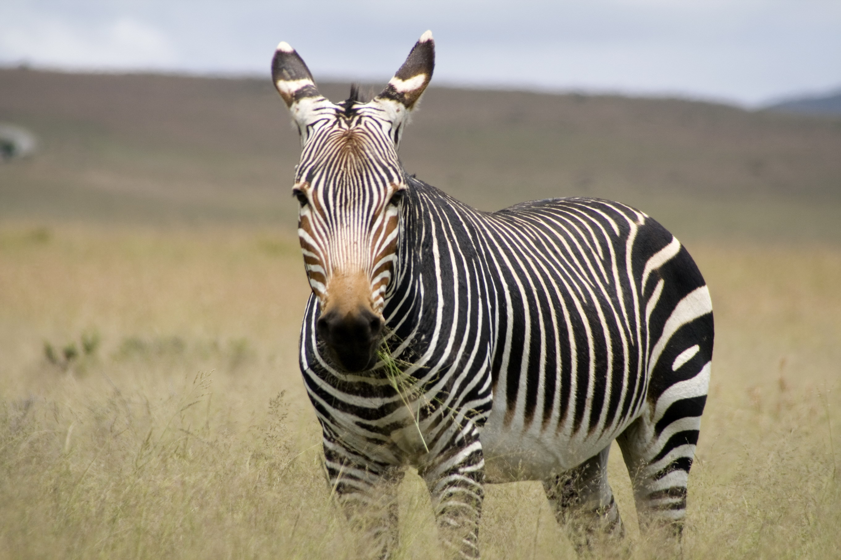 Zebra Wallpapers Images Photos Pictures Backgrounds
