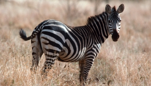 Zebra Full HD