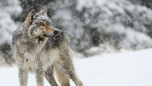 Angry Wolf Photo