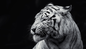 Tiger, Face, Eyes, Black And White