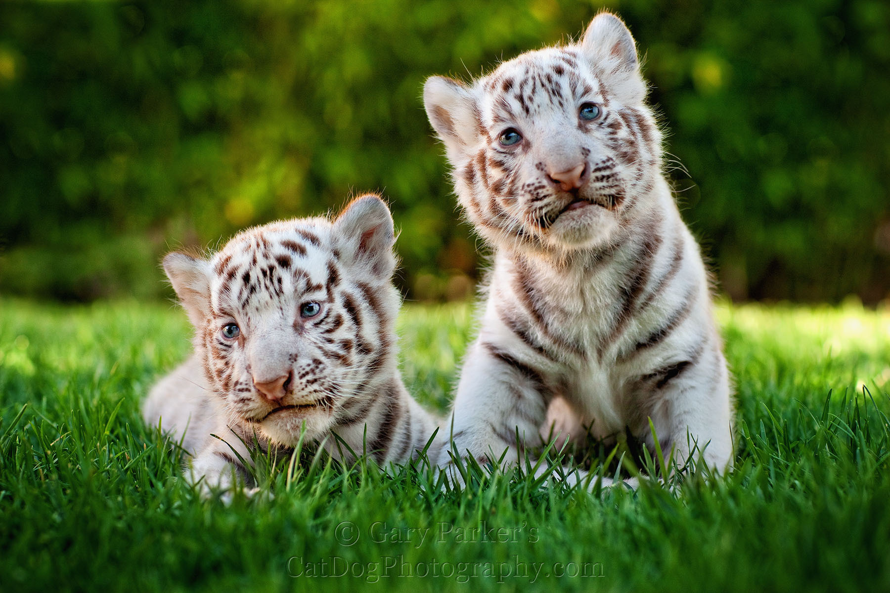 Pet Baby White Tiger