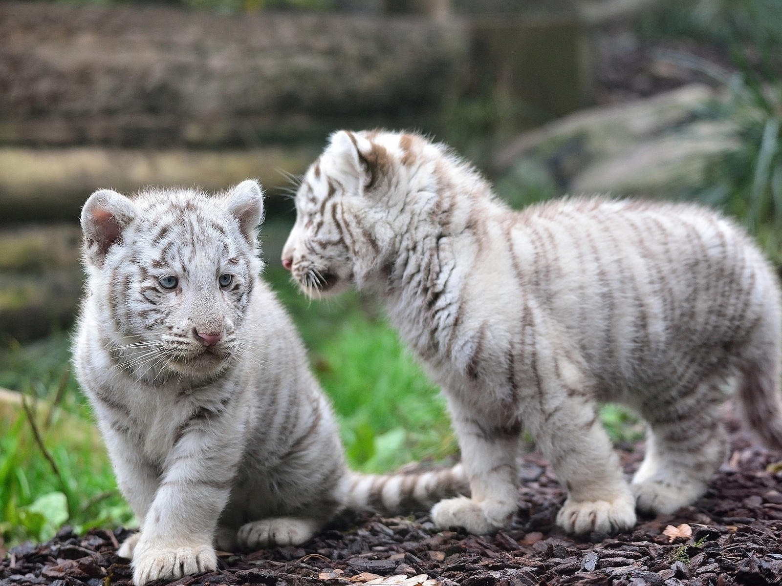 white bengal tiger cubs wallpaper