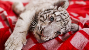 White Tiger Cub Pictures
